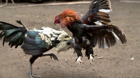Desarticulada una red ilegal de peleas de gallos en Madrid